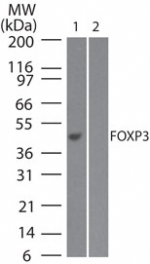 Western blot of FOXP3 in 1) full-length transfected and 2) mock transfected 293 cell lysate using FOXP3 Antibody at 2 ug/ml.