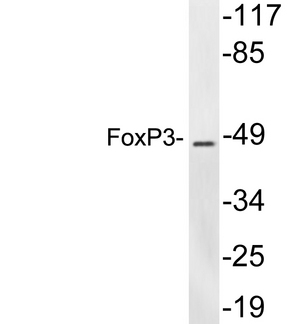 Western blot analysis of lysates from Jurkat cells, using FoxP3 antibody.
