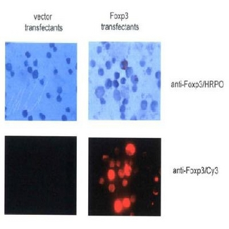 FOXP3 Antibody - The same transfectants were stained with anti-Foxp3 antibody and HRPO-conjugated (upper panel) or Cy3-conjugated (lower panels) secondary antibody. Representative images (x100) are shown.  This image was taken for the unconjugated form of this product. Other forms have not been tested.