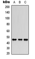 Western blot analysis of FOXP3 expression in HEK293T (A); Raw264.7 (B); PC12 (C) whole cell lysates.