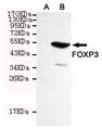 Western blot detection of FOXP3 in CHO-K1 cell lysate ( A ) and CHO-K1 transfected by FOXP3 ( B ) cell lysate using FOXP3 mouse monoclonal antibody (1:300 dilution). Predicted band size: 47KDa. Observed band size:50KDa.