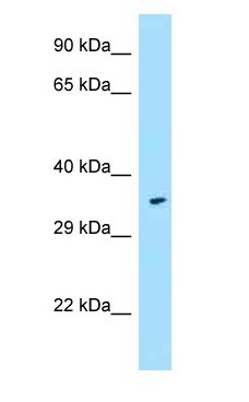 FPR1 / FPR antibody Western Blot of Fetal Heart.  This image was taken for the unconjugated form of this product. Other forms have not been tested.