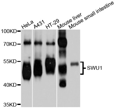 FSAP57 / SMU1 Antibody - Western blot analysis of extracts of various cell lines.