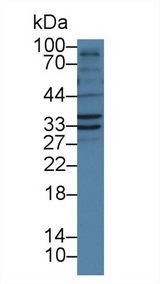 Western Blot; Sample: Porcine Liver lysate; Primary Ab: 1µg/ml Rabbit Anti-Human FSTL1 Antibody Second Ab: 0.2µg/mL HRP-Linked Caprine Anti-Rabbit IgG Polyclonal Antibody