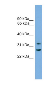 FSTL1 antibody Western blot of HepG2 cell lysate. This image was taken for the unconjugated form of this product. Other forms have not been tested.