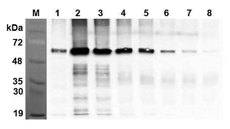 FTO Antibody - Immunoprecipitation of recombinant human FTO proteins using anti-FTO (human), mAb (AG103) at different concentrations. The precipitated proteins were separated by SDS-PAGE, electroblotted, and visualized by Western blot with rabbit anti-mouse FTO pAb . 1. hFTO (His-tagged) recombinant control 100ng (AG-40A-112). 2. hFTO (His-tagged) 5 ug. 3. hFTO (His-tagged) 2.5 ug. 4. hFTO (His-tagged) 1.25 ug. 5. hFTO (His-tagged) 0.625 ug. 6. hFTO (His-tagged) 0.312 ug. 7. hFTO (His-tagged) 0.156 ug. 8. hFTO (His-tagged) 0.078 ug
