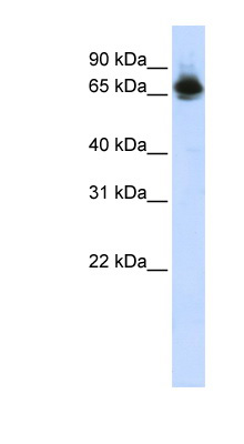 FUBP1 antibody Western blot of HepG2 cell lysate. This image was taken for the unconjugated form of this product. Other forms have not been tested.