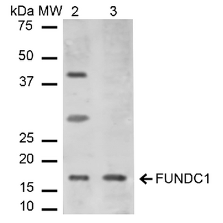 FUNDC1 Antibody - Western blot analysis of Mouse, Rat Liver cell lysates showing detection of ~17.2 kDa FUNDC1 protein using Rabbit Anti-FUNDC1 Polyclonal Antibody. Lane 1: Molecular Weight Ladder (MW). Lane 2: Mouse Liver cell lysates. Lane 3: Rat Liver cell lysates. Load: 15 µg. Block: 5% Skim Milk in 1X TBST. Primary Antibody: Rabbit Anti-FUNDC1 Polyclonal Antibody  at 1:1000 for 2 hours at RT. Secondary Antibody: Goat Anti-Rabbit IgG: HRP at 1:2000 for 60 min at RT. Color Development: ECL solution for 6 min in RT. Predicted/Observed Size: ~17.2 kDa.