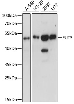 FUT3 Antibody - Western blot analysis of extracts of various cell lines, using FUT3 antibody at 1:1000 dilution. The secondary antibody used was an HRP Goat Anti-Rabbit IgG (H+L) at 1:10000 dilution. Lysates were loaded 25ug per lane and 3% nonfat dry milk in TBST was used for blocking. An ECL Kit was used for detection and the exposure time was 90s.