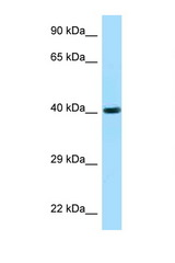 FUT3 / CD174 antibody Western blot of 721_B Cell lysate. Antibody concentration 1 ug/ml.  This image was taken for the unconjugated form of this product. Other forms have not been tested.