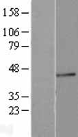 FUT3 Protein - Western validation with an anti-DDK antibody * L: Control HEK293 lysate R: Over-expression lysate