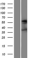 FUT4 / CD15 Protein - Western validation with an anti-DDK antibody * L: Control HEK293 lysate R: Over-expression lysate