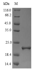 FXN / Frataxin Protein - (Tris-Glycine gel) Discontinuous SDS-PAGE (reduced) with 5% enrichment gel and 15% separation gel.