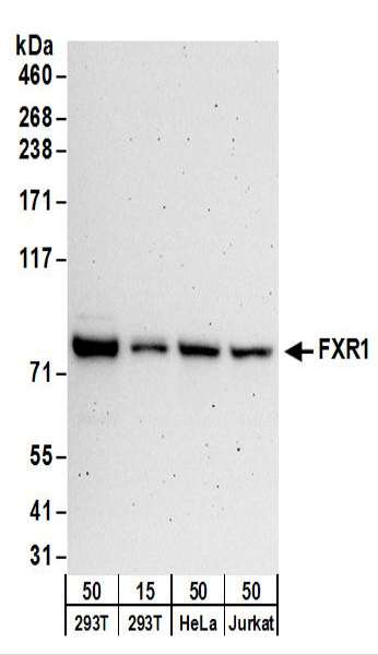 Detection of Human FXR1 by Western Blot. Samples: Whole cell lysate from 293T (15 and 50 ug), HeLa (50 ug), and Jurkat (50 ug) cells. Antibodies: Affinity purified rabbit anti-FXR1 antibody used for WB at 0.1 ug/ml. Detection: Chemiluminescence with an exposure time of 3 minutes.