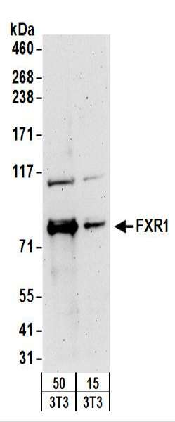 Detection of Mouse FXR1 by Western Blot. Samples: Whole cell lysate from mouse NIH3T3 (15 and 50 ug) cells. Antibodies: Affinity purified rabbit anti-FXR1 antibody used for WB at 0.4 ug/ml. Detection: Chemiluminescence with an exposure time of 3 minutes.