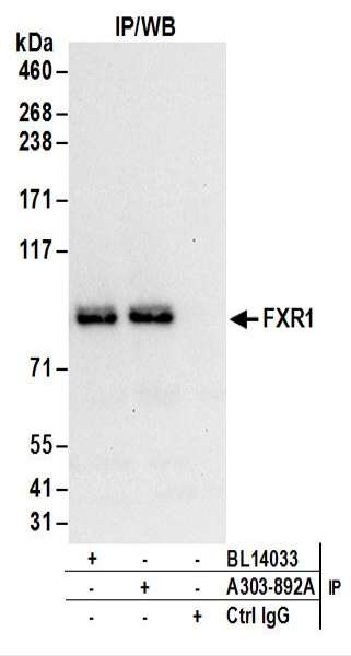 Detection of Human FXR1 by Western Blot of Immunoprecipitates. Samples: Whole cell lysate (1 mg for IP; 20% of IP loaded) from 293T cells. Antibodies: Affinity purified rabbit anti-FXR1 antibody used for IP at 6 ug/mg lysate. FXR1 was also immunoprecipitated by rabbit anti-FXR1 antibody BL14033. For blotting immunoprecipitated FXR1, was used at 1 ug/ml. Detection: Chemiluminescence with an exposure time of 10 seconds.