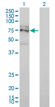 Western blot of FXR1 expression in transfected 293T cell line by FXR1 monoclonal antibody (M01), clone 2G11.