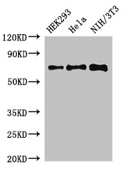Positive WB detected in:HEK293 whole cell lysate,Hela whole cell lysate,NIH/3T3 whole cell lysate;All lanes:FXR1 antibody at 3?g/ml;Secondary;Goat polyclonal to rabbit IgG at 1/50000 dilution;Predicted band size: 70,61,60 KDa;Observed band size: 70 KDa;