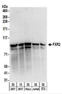 Detection of Human and Mouse FXR2 by Western Blot. Samples: Whole cell lysate from 293T (15 and 50 ug), HeLa (50 ug), Jurkat (50 ug), and mouse NIH3T3 (50 ug) cells. Antibodies: Affinity purified rabbit anti-FXR2 antibody used for WB at 0.1 ug/ml. Detection: Chemiluminescence with an exposure time of 30 seconds.