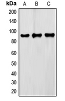 Western blot analysis of FXR2 expression in Raw264.7 (A); HepG2 (B); HeLa (C) whole cell lysates.