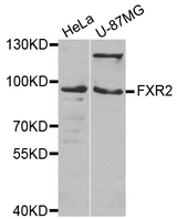 FXR2 Antibody - Western blot analysis of extracts of various cell lines.