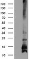 HEK293T cells were transfected with the pCMV6-ENTRY control (Left lane) or pCMV6-ENTRY FXYD3 (Right lane) cDNA for 48 hrs and lysed. Equivalent amounts of cell lysates (5 ug per lane) were separated by SDS-PAGE and immunoblotted with anti-FXYD3.