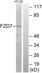 Western blot analysis of lysates from HT-29 cells, using FZD7 Antibody. The lane on the right is blocked with the synthesized peptide.