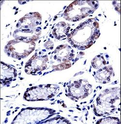 G3BP1 Antibody immunohistochemistry of formalin-fixed and paraffin-embedded human stomach tissue followed by peroxidase-conjugated secondary antibody and DAB staining.