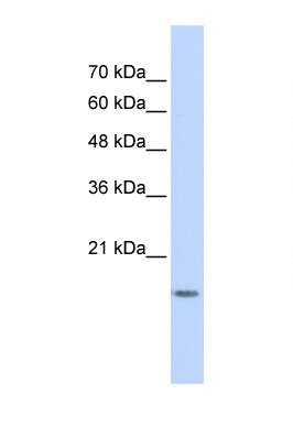 GABARAPL1 antibody LS-C102630 Western blot of 293T Cell lysate. Antibody concentration 1 ug/ml.  This image was taken for the unconjugated form of this product. Other forms have not been tested.