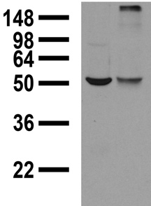 GABRA1 Antibody - Adult rat brain membrane (left) and transientlytransfected COS cell extracts (right) probed