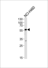 GABRA2 Antibody western blot of NCI-H460 cell line lysates (35 ug/lane). The GABRA2 antibody detected the GABRA2 protein (arrow).