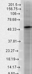 GABRB3 Antibody - Western blot analysis of GABA(A)R Beta3 in rat brain membrane lysates using a 1:1000 dilution of GABRB3 antibody.  This image was taken for the unconjugated form of this product. Other forms have not been tested.