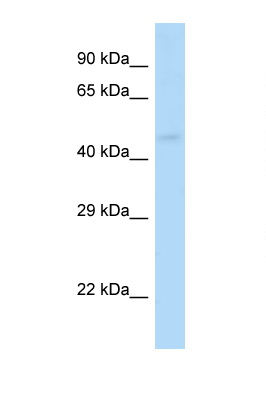 GABRP antibody Western blot of Mouse Kidney lysate. Antibody concentration 1 ug/ml.  This image was taken for the unconjugated form of this product. Other forms have not been tested.