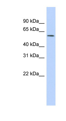 GABRR1 antibody Western blot of HepG2 cell lysate. This image was taken for the unconjugated form of this product. Other forms have not been tested.