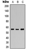 Western blot analysis of GABRR1 expression in HEK293T (A); Raw264.7 (B); PC12 (C) whole cell lysates.