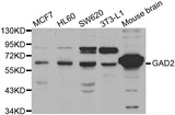 Western blot analysis of extracts of various cell lines, using GAD2 antibody.