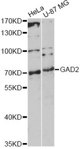 Western blot analysis of extracts of various cell lines, using GAD2 antibody at 1:1000 dilution. The secondary antibody used was an HRP Goat Anti-Rabbit IgG (H+L) at 1:10000 dilution. Lysates were loaded 25ug per lane and 3% nonfat dry milk in TBST was used for blocking. An ECL Kit was used for detection and the exposure time was 90s.