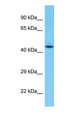 Western blot of GALK2 Antibody with human HepG2 Whole Cell lysate.  This image was taken for the unconjugated form of this product. Other forms have not been tested.
