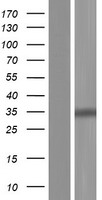 GALNT10 Protein - Western validation with an anti-DDK antibody * L: Control HEK293 lysate R: Over-expression lysate
