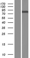 GALNT8 Protein - Western validation with an anti-DDK antibody * L: Control HEK293 lysate R: Over-expression lysate