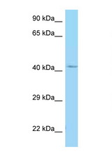 GALR1 antibody Western blot of 721_B Cell lysate. Antibody concentration 1 ug/ml.  This image was taken for the unconjugated form of this product. Other forms have not been tested.