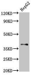 Positive Western Blot detected in HepG2 whole cell lysate. All lanes: GALR1 antibody at 2 µg/ml Secondary Goat polyclonal to rabbit IgG at 1/50000 dilution. Predicted band size: 39 KDa. Observed band size: 39 KDa