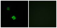 Immunofluorescence analysis of A549 cells, using GALR3 Antibody. The picture on the right is blocked with the synthesized peptide.