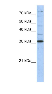 GAPDH antibody Western blot of Transfected 293T cell lysate.  This image was taken for the unconjugated form of this product. Other forms have not been tested.