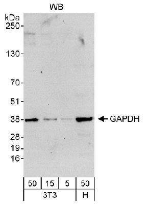 Detection of Human and Mouse GAPDH by Western Blot. Samples: Whole cell lysate from mouse NIH3T3 (5, 15 and 50 mcg) and human HeLa (H; 50 mcg) cells. Antibody: Affinity purified rabbit anti-GAPDH antibody used at 0.04 mcg/ml. Detection: Chemiluminescence with an exposure time of 30 seconds.  This image was taken for the unconjugated form of this product. Other forms have not been tested.
