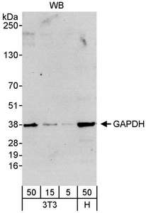 Detection of Human and Mouse GAPDH by Western Blot. Samples: Whole cell lysate from mouse NIH3T3 (5, 15 and 50 ug) and human HeLa (H; 50 ug) cells. Antibody: Affinity purified rabbit anti-GAPDH antibody used at 0.04 ug/ml. Detection: Chemiluminescence with an exposure time of 30 seconds.