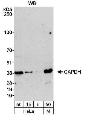 Detection of Human and Mouse GAPDH by Western Blot. Samples: Whole cell lysate from HeLa (5, 15 and 50 mcg) and mouse NIH3T3 (M; 50 mcg). Antibody: Affinity purified rabbit anti-GAPDH antibody BL3024 used at 0.04 mcg/ml. Detection: Chemiluminescence with an exposure time of 30 seconds.  This image was taken for the unconjugated form of this product. Other forms have not been tested.