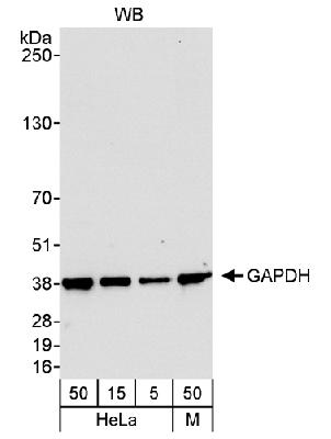 Detection of Human and Mouse GAPDH by Western Blot. Samples: Whole cell lysate from HeLa (5, 15 and 50 mcg) and mouse NIH3T3 (M; 50 mcg). Antibody: Affinity purified rabbit anti-GAPDH antibody used at 0.04 mcg/ml. Detection: Chemiluminescence with an exposure time of 10 seconds.  This image was taken for the unconjugated form of this product. Other forms have not been tested.