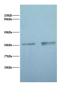 Western blot of Glyceraldehyde-3-phosphate dehydrogenase antibody at 2 ug/ml. Lane 1: EC109 whole cell lysate. Lane 2: 293T whole cell lysate. Secondary: Goat polyclonal to Rabbit IgG at 1:15000 dilution. Predicted band size: 37 kDa. Observed band size: 37 kDa.  This image was taken for the unconjugated form of this product. Other forms have not been tested.