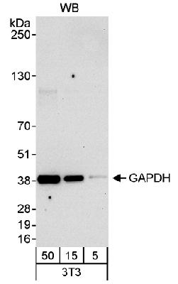 Detection of Mouse GAPDH by Western Blot. Samples: Whole cell lysate (5, 15 and 50 mcg) from mouse NIH3T3 cells. Antibody: Affinity purified rabbit anti-GAPDH antibody used at 0.04 mcg/ml. Detection: Chemiluminescence with an exposure time of 30 seconds.  This image was taken for the unconjugated form of this product. Other forms have not been tested.